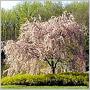 Kráska Slivka subhirtella Autumnalis kvitne od jesene do jari a dodá vašej zimnej záhrade nádych jarnej krásy!