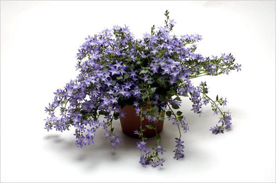 Campanula Addenda Blue Star