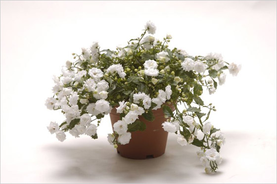 Campanula Addenda White Snow