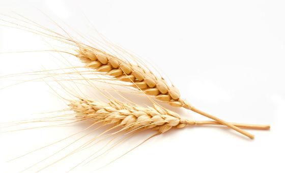 Klas pšenice
