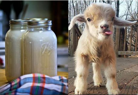 Malé kozliatko a fľašky kozieho mlieka