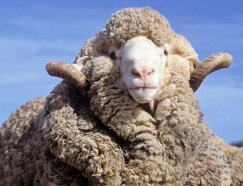 Austrálska merino ovca s dlhou srsťou.
