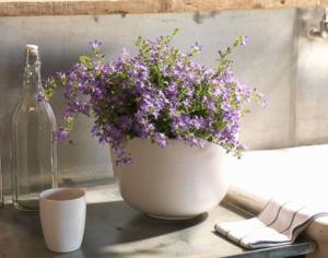 Zvončeky Campanula Addenda: hodia sa do moderných i tradičných záhradných a balkónových kompozícií!